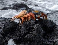 De rode krab of Sally Lightfoot van de Rots Stock Afbeeldingen