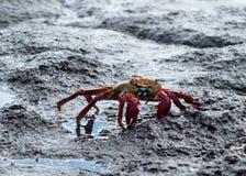 De rode krab of Sally Lightfoot van de Rots Royalty-vrije Stock Afbeelding