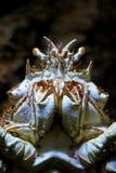 De rode Krab van de Koning, Krab de Van Alaska van de Koning Stock Foto