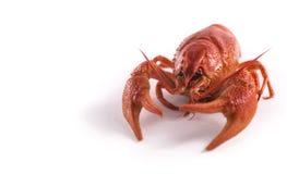 De rode kropvissen isoleren profiel Stock Afbeeldingen