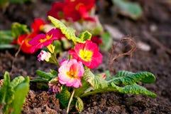 De rode lentebloemen Stock Fotografie