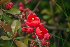 De rode lentebloemen, het Tot bloei komen Chaenomeles, Japanse kweepeer Stock Foto
