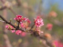 De rode lentebloemen royalty-vrije stock afbeelding