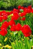 De rode lentetulpen royalty-vrije stock fotografie