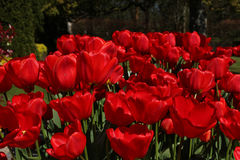 De rode Lentetulpen Royalty-vrije Stock Foto