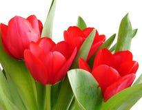 De rode lentetulpen Royalty-vrije Stock Afbeeldingen
