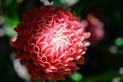 De rode lokale bloem van de toortsgember Royalty-vrije Stock Afbeeldingen