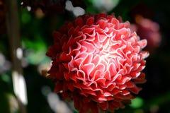 De rode lokale bloem van de toortsgember Stock Foto's