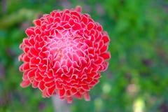 De rode lokale bloem van de toortsgember Stock Afbeelding