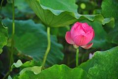 De rode lotusbloembloem is schitterend Royalty-vrije Stock Afbeelding