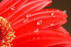 De rode macro van de bloembloemblaadjes van Daisy royalty-vrije stock afbeeldingen