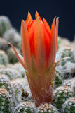 De rode macro van de cactusbloem Stock Foto's