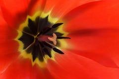 De rode macroachtergrond van de tulpenbloem Royalty-vrije Stock Foto's