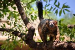 De rode maki van Madagascar Royalty-vrije Stock Afbeeldingen