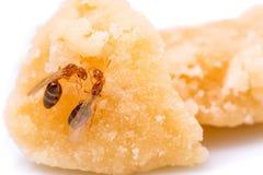 De rode mieren communiceren met elkaar Stock Foto