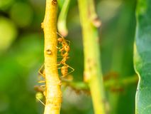 De rode mieren leven op mango's royalty-vrije stock fotografie