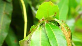 De rode mieren werken bij het nest stock footage