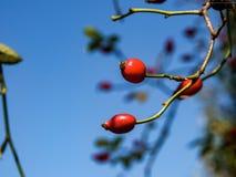 De rode monden, het rijpe fruit van de hond namen toe royalty-vrije stock foto