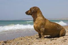 de rode natte tekkel op het strand die op zijn eigenaar wachten onderzoekt de afstand Stock Foto