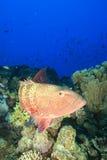De rode Overzeese Tandbaars van het Koraal stock foto