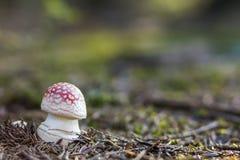 De de rode paddestoel of giftige paddestoel van de vliegplaatzwam in het gras De Latijnse naam is Royalty-vrije Stock Foto's