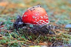 De rode paddestoel van de plaatzwamvlieg Stock Foto's