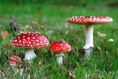 De rode paddestoelen van Amanietmuscaria Royalty-vrije Stock Afbeeldingen