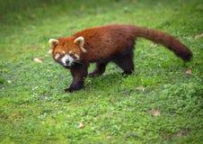 De rode panda bekijkt camera royalty-vrije stock afbeelding
