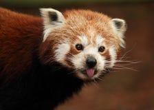 De rode panda die uit het is tong plakken Royalty-vrije Stock Foto's