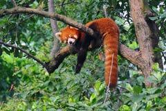 De rode panda draagt in boom Stock Afbeelding