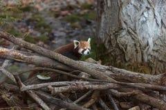 De rode panda firefox stock foto