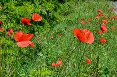 De rode papaver bloeit 2 stock afbeelding