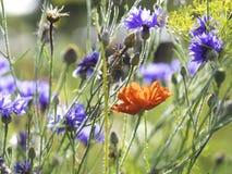 De rode papaver, de korenbloemen en een dillebloem die in de herfst bloeien tuinieren stock foto's