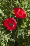 De rode papaver van Vlaanderen met zwart centrum stock fotografie