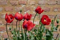 De rode papavers in Eastcote huisvesten Tuinen, het UK, historische ommuurde tuin die door een gemeenschap van vrijwilligers word stock foto's