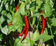 De rode Peper van Spaanse pepers op Installatie stock fotografie