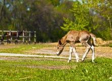 De rode poney van veulenShetland royalty-vrije stock afbeeldingen