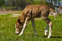 De rode poney van veulenShetland stock fotografie