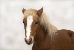De rode poney van veulenShetland royalty-vrije stock fotografie