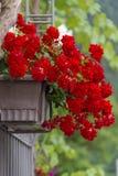 De rode pot van de Geraniumbloem op een poort Royalty-vrije Stock Foto