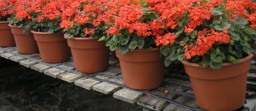 De rode Potten van de Bloem Stock Foto