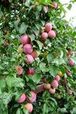De rode pruim van de fruitboom Stock Afbeeldingen