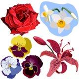 De rode reeks bloemen, nam, narcissen, drie pansies, en roze lelie toe Stock Foto