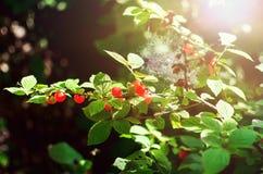 De rode rijpe kersen hangen op een tak De zomerachtergrond stock afbeelding