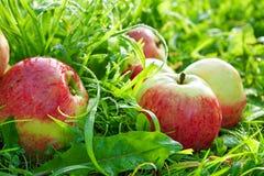 De rode rijpe sappige appelen liggen op een groen gras Stock Fotografie