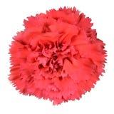 De rode Roze Geïsoleerde Bloem van de Kruidnagel van de Anjer Royalty-vrije Stock Fotografie