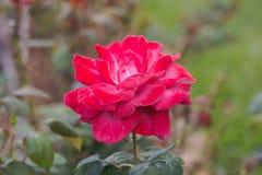 De rode rozen Stock Afbeeldingen