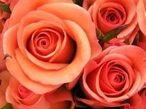 De rode rozen van het koraal stock fotografie