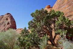 De rode scène van de steenwoestijn met pinonpijnboom Stock Afbeelding
