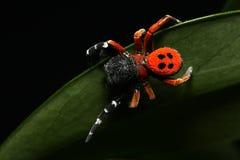 De rode spin van de damevogel Royalty-vrije Stock Foto